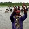 স্থানীয় জাতের মাছ দিন দিন কমে যাচ্ছে