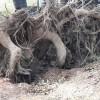 ঘূর্ণিঝড় বুলবুল; উপড়ে যাওয়া অধিকাংশ গাছের ছিলোনা মূল শিকড়