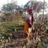 ধৈঞ্চা মাটির উর্বরাশক্তি বৃদ্ধি করে
