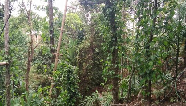 করোনার প্রভাব: স্থবির সিলেটের খাসিদের অর্থনীতি