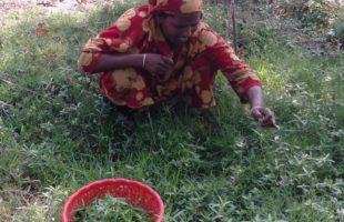করোনা পরিস্তিতিতে খাদ্য সংকট মোকাবেলায় অচাষকৃত উদ্ভিদ