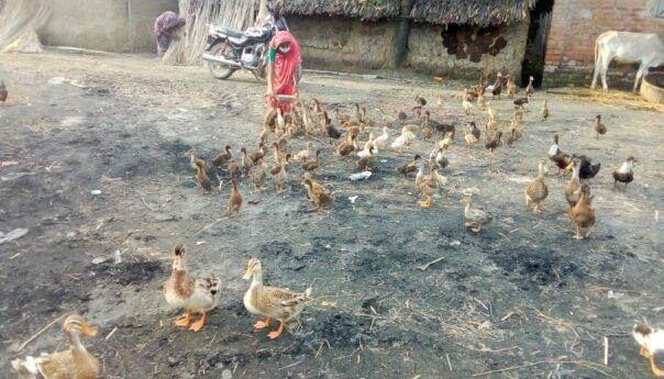 পাতি হাঁস পালন করে স্বাবলম্বী হওয়ার স্বপ্ন দেখেন নাসিমা বেগম