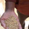 'বীজ সংকট মুহুর্তে কৃষকদের ভরসায় বারসিক'
