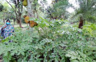 ঔল ও কাঁঠাল চাষ করে বাড়তি আয় করছেন নাজমা বেগম